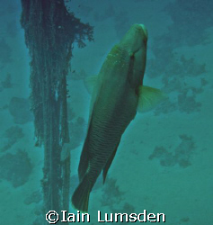 Napoleon Wrasse on Ghainis D by Iain Lumsden 